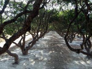 Mastic trees, Chios. Photo © Facebook - ΟΙ ΟΜΟΡΦΙΕΣ ΤΗΣ ΕΛΛΑΔΑΣ ΜΑΣ