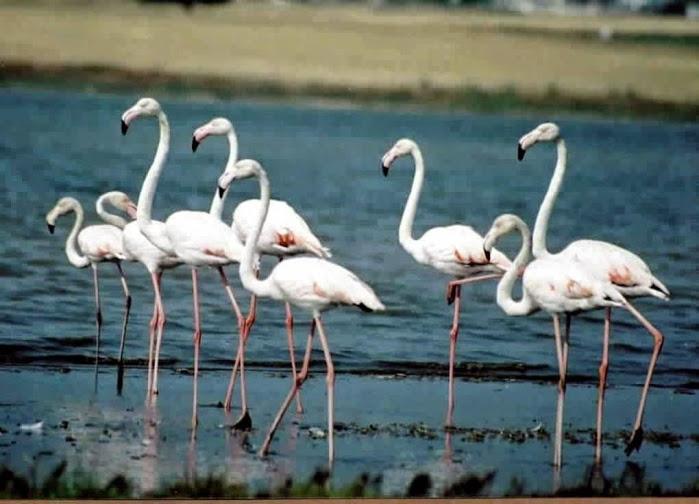 Flamingo birds, Evros.