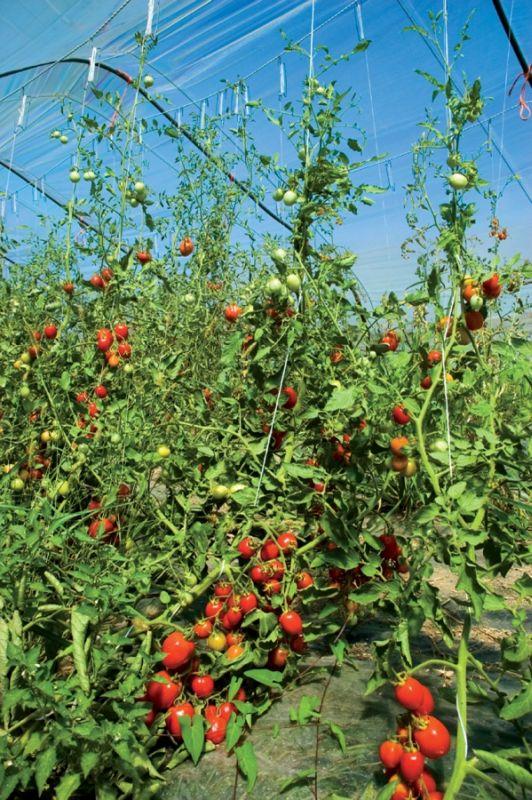 Aldemar Olympian Village - organic tomatoes.