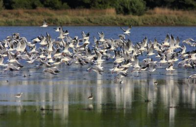 Black-headed Gulls. Large flock taking off from shallow water. Lake Yerani, Sani Wetlands.