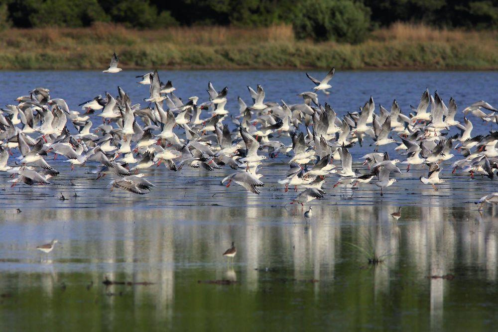 Black-headed Gulls. Large flock taking off from shallow water. Lake Yerani, Sani Wetlands.