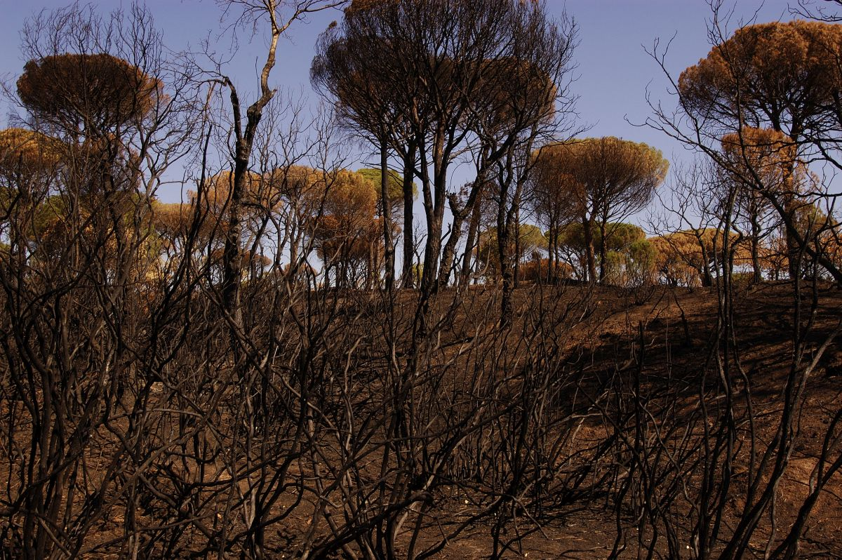 Burnt forest. In July 2003, 16'000 hectares have gone up in smoke in the Massif des Maures, killing at least 4'000 Hermann's tortoises (Testudo hermanni). South of France. Cote d Azur. Photo © Michel Gunther, WWF
