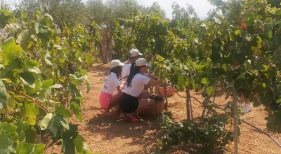 Vine harvesting at Creta Maris