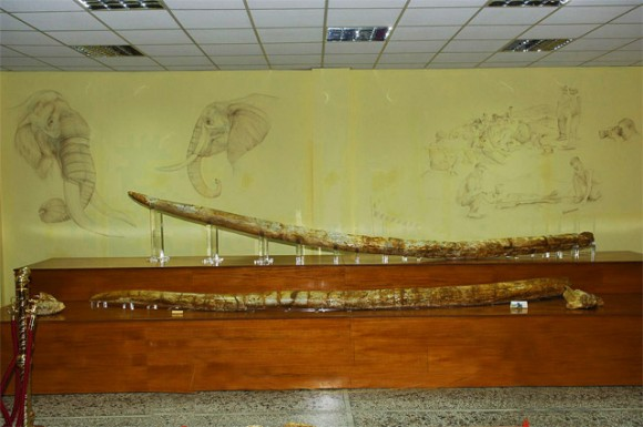The two fossil mastodon tusks found in Milia, Grevena at 5.02 metres in length and dating back three million years.